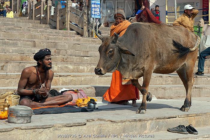 Zebu cattle (Bos primigenius indicus) holy cow, walking past Sadhu or holy man, Varanasi, India  -  Axel Gomille/ npl