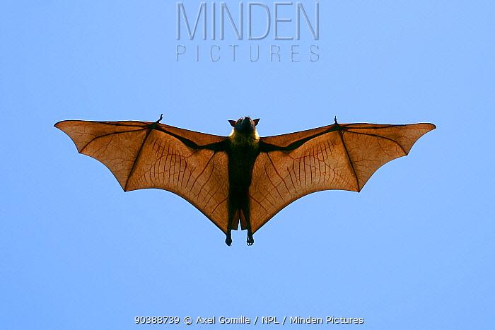 Indian Flying Fox (Pteropus giganteus), flying, India  -  Axel Gomille/ npl