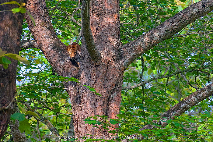 Indian Leopard (Panthera pardus fusca), subspecies from Asia, watching from tree, Nagarhole National Park, India  -  Axel Gomille/ npl