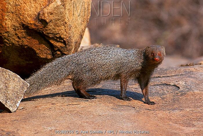 Ruddy mongoose (Herpestes smithii) Karnataka, India  -  Axel Gomille/ npl