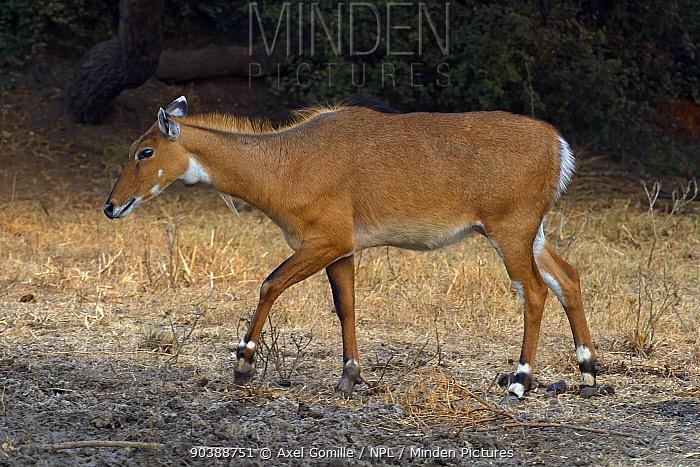 Nilgai (Boselaphus tragocamelus), female, Keoladeo Ghana National Park, Bharatpur, Rajasthan, India  -  Axel Gomille/ npl