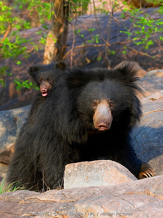 Sloth bear (Melursus ursinus) mother with cub on her back, India  -  Axel Gomille/ npl
