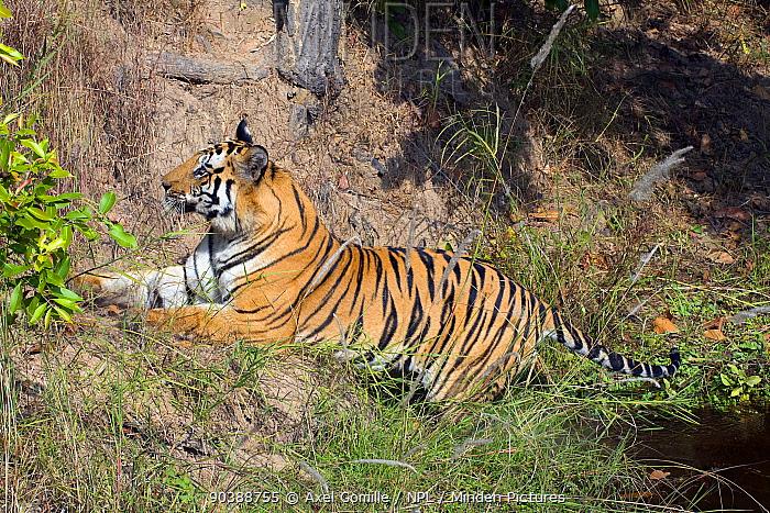 Tiger (Panthera tigris tigris), male, Bandhavgarh National Park, India  -  Axel Gomille/ npl