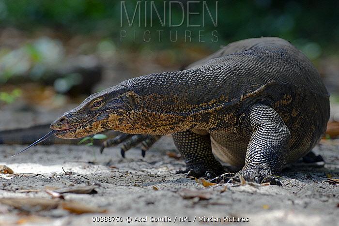Water monitor (Varanus salvator), foraging, flicking tongue, Thailand  -  Axel Gomille/ npl