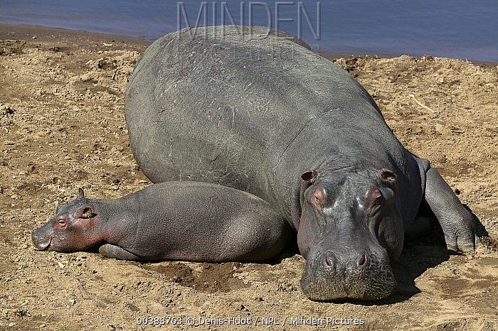 Hippo (Hippopotamus amphibius) mother and newborn resting, Masai-Mara Game Reserve, Kenya Vulnerable species  -  Denis Huot/ npl