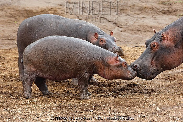 Hippo (Hippopotamus amphibius) mother and calves, Masai-Mara Game Reserve, Kenya Vulnerable species  -  Denis Huot/ npl