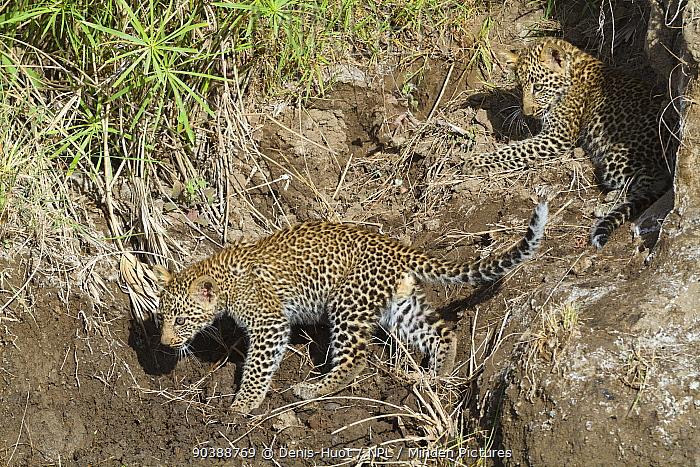Leopard (Panthera pardus) cubs aged 2, 3 months, Masai-Mara Game Reserve, Kenya  -  Denis Huot/ npl
