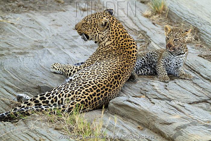 Leopard (Panthera pardus) mother and cub aged 2, 3 months, Masai-Mara Game Reserve, Kenya  -  Denis Huot/ npl