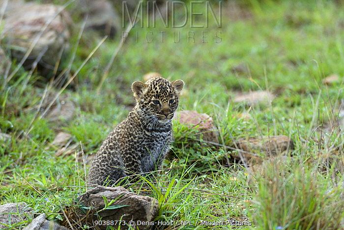 Leopard (Panthera pardus) cub aged 1 month, Masai-Mara Game Reserve, Kenya  -  Denis Huot/ npl