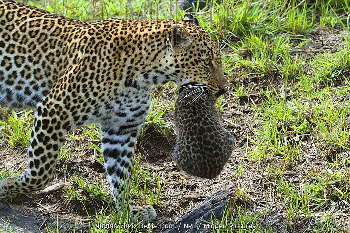 Leopard (Panthera pardus) female carrying her cub aged 1 month, Masai-Mara Game Reserve, Kenya  -  Denis Huot/ npl