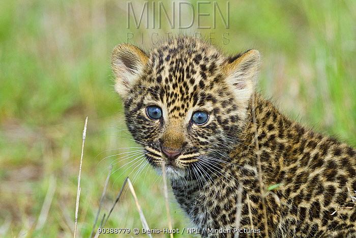 Leopard (Panthera pardus) cubs 1 months, Masai-Mara Game Reserve, Kenya  -  Denis Huot/ npl