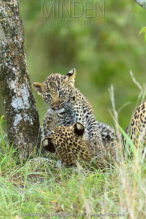 Leopard (Panthera pardus) cubs aged 2 months playing, Masai-Mara Game Reserve, Kenya  -  Denis Huot/ npl