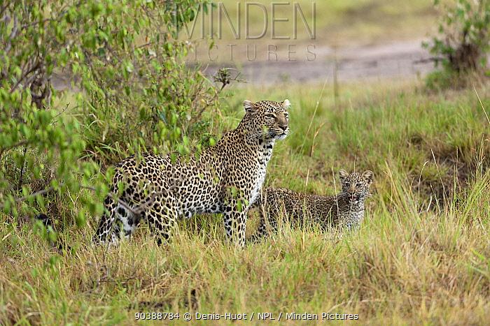 Leopard (Panthera pardus) female and cub aged 5 months, Masai-Mara Game Reserve, Kenya  -  Denis Huot/ npl