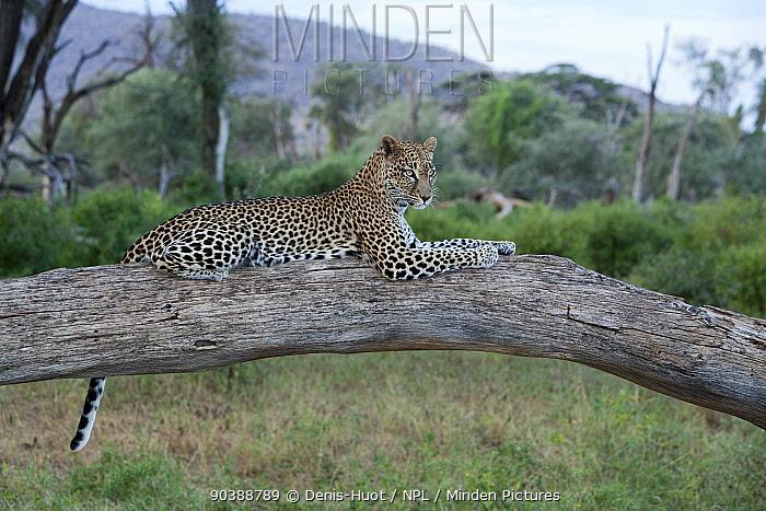 Leopard (Panthera pardus) female resting on fallen tree trunk, Samburu game reserve, Kenya  -  Denis Huot/ npl