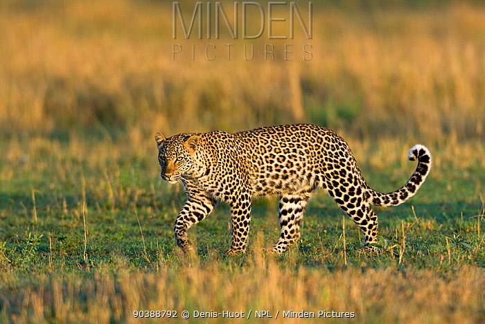 Leopard (Panthera pardus) female, Masai-Mara Game Reserve, Kenya  -  Denis Huot/ npl