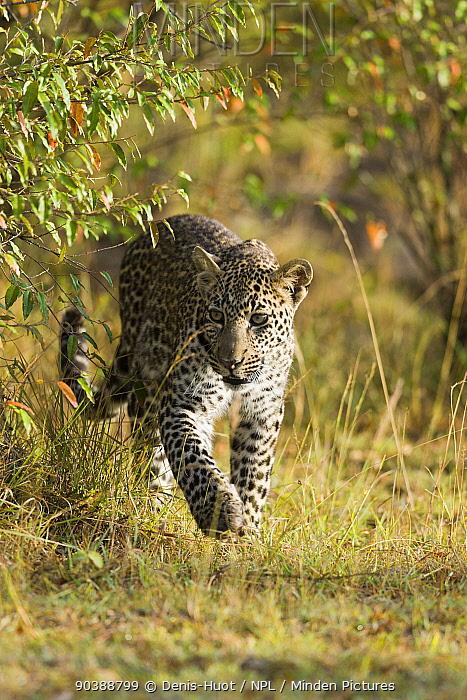 Leopard (Panthera pardus) young male, Masai-Mara Game Reserve, Kenya  -  Denis Huot/ npl