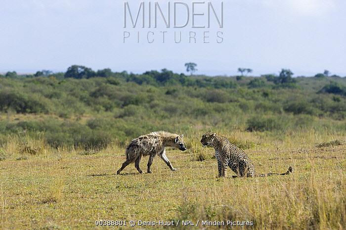 Leopard (Panthera pardus) facing a Spotted hyena (Crocuta crocuta) Masai-Mara Game Reserve, Kenya  -  Denis Huot/ npl