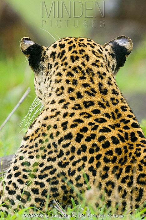 Leopard (Panthera pardus) male rear view, Masai-Mara Game Reserve, Kenya  -  Denis Huot/ npl