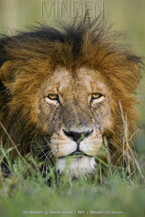 Lion (Panthera leo) male head portrait, Masai-Mara Game Reserve, Kenya Vulnerable species  -  Denis Huot/ npl