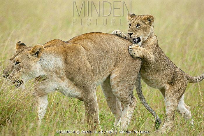 Lion (Panthera leo) cub playing with his mother, Masai-Mara Game Reserve, Kenya Vulnerable species  -  Denis Huot/ npl