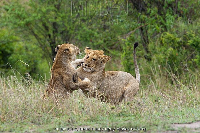 Lion (Panthera leo) juveniles playing, Masai-Mara Game Reserve, Kenya Vulnerable species  -  Denis Huot/ npl
