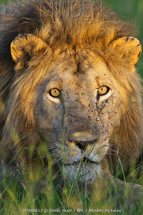 Lion (Panthera leo) head portrait, with flies on face, Masai-Mara, Kenya Vulnerable species  -  Denis Huot/ npl