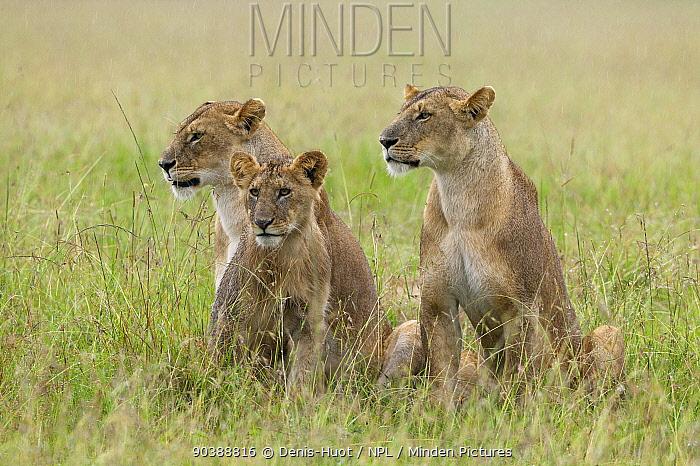 Lionesses (Panthera leo) with cub in the rain, Masai Mara, Kenya  -  Denis Huot/ npl
