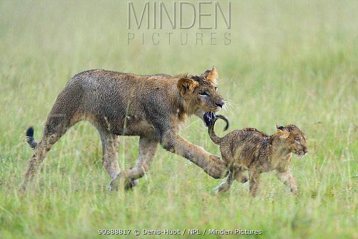 Lion (Panthera leo) cub playing with smaller cub in the rain, Masai-Mara Game Reserve, Kenya Vulnerable species  -  Denis Huot/ npl