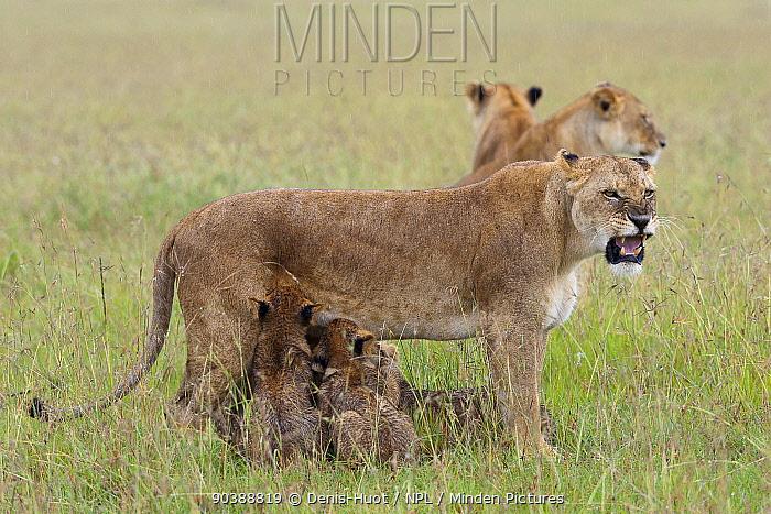 Lioness (Panthera leo) suckling cubs after the rain, and snarling, Masai-Mara Game Reserve, Kenya  -  Denis Huot/ npl