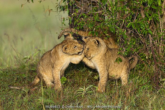 Lion (Panthera leo) cubs playing, Masai-Mara, Kenya Vulnerable species  -  Denis Huot/ npl