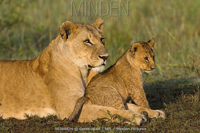 Lioness (Panthera leo) resting with cub, Masai-Mara Game Reserve, Kenya  -  Denis Huot/ npl