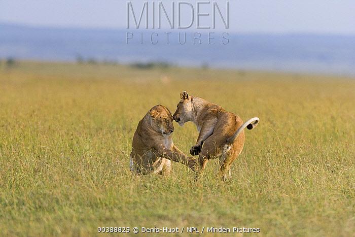 Lionesses (Panthera leo) playing, Masai-Mara Game Reserve, Kenya  -  Denis Huot/ npl