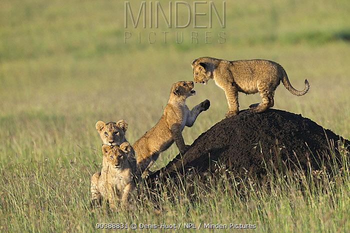 Lion (Panthera leo) cubs playing on termite mound, Masai-Mara, Kenya Vulnerable species  -  Denis Huot/ npl