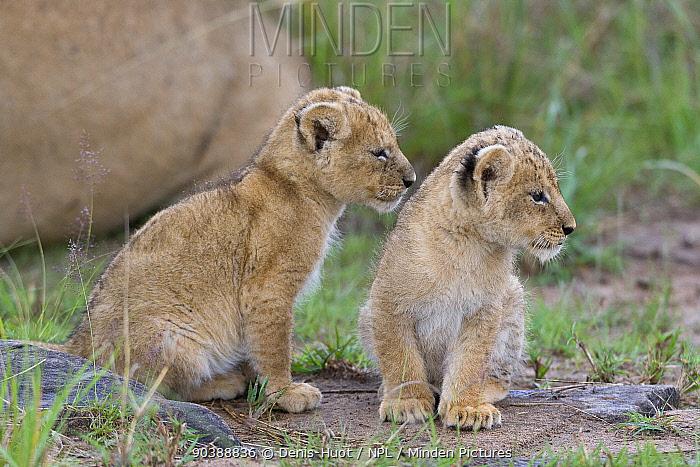 Lion (Panthera leo) cubs 6 weeks old, Masai-Mara Game Reserve, Kenya Vulnerable species  -  Denis Huot/ npl