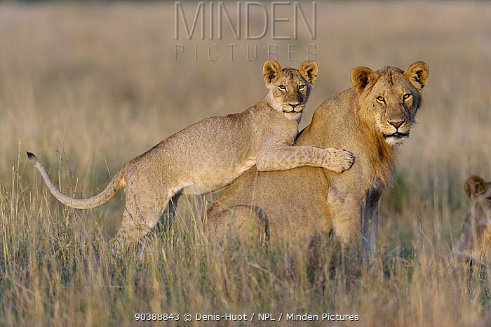 Lion (Panthera leo) juveniles playing together, Masai-Mara Game Reserve, Kenya Vulnerable species  -  Denis Huot/ npl