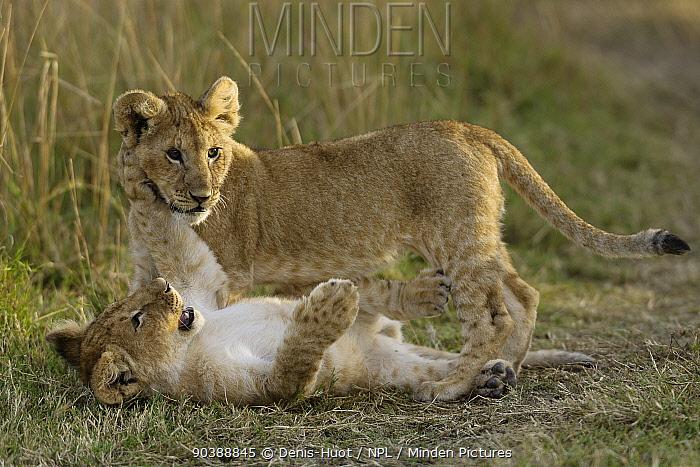 Lion (Panthera leo) cubs playing, Masai-Mara Game Reserve, Kenya Vulnerable species  -  Denis Huot/ npl