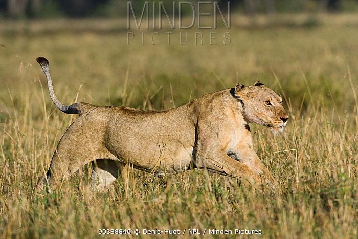 Lioness (Panthera leo) hunting, Masai-Mara Game Reserve, Kenya  -  Denis Huot/ npl