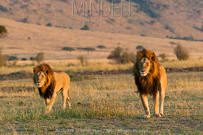 Lion (Panthera leo) males, Masai-Mara, Kenya Vulnerable species  -  Denis Huot/ npl