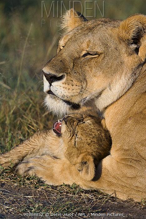 Lioness (Panthera leo) and with cub aged 2 months, Masai-Mara Game Reserve, Kenya  -  Denis Huot/ npl