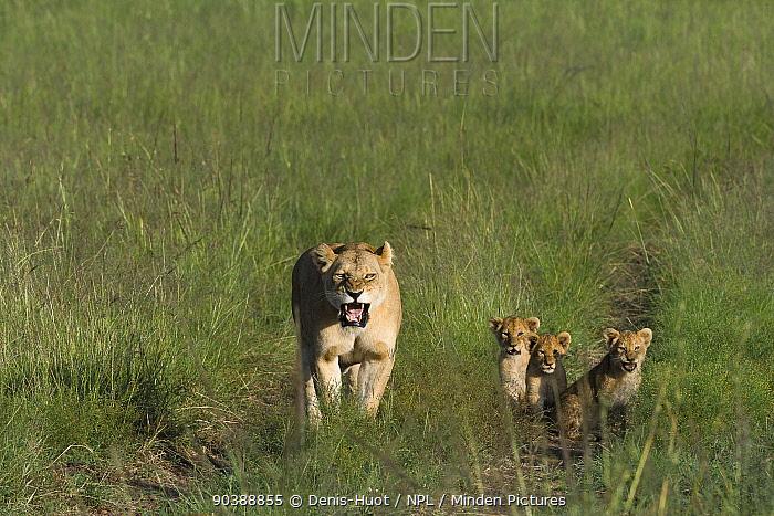 Lioness (Panthera leo) with her cubs aged around 2 months, Masai-Mara Game Reserve, Kenya  -  Denis Huot/ npl