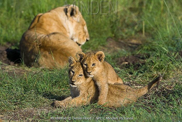 Lioness (Panthera leo) with cubs aged around 2 months, Masai-Mara Game Reserve, Kenya  -  Denis Huot/ npl