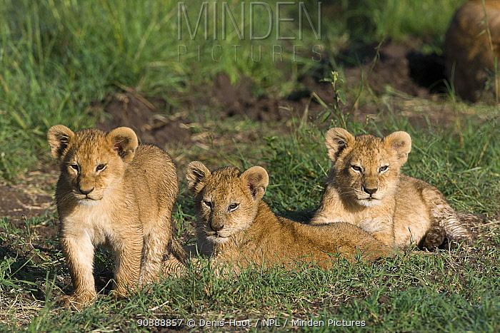 Lion (Panthera leo) cubs aged 2 months, Masai-Mara Game Reserve, Kenya Vulnerable species  -  Denis Huot/ npl
