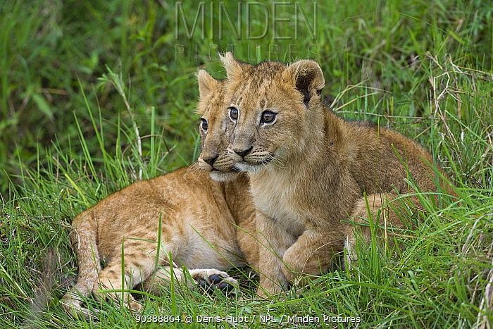 Lion (Panthera leo) cubs, Masai-Mara Game Reserve, Kenya Vulnerable species  -  Denis Huot/ npl