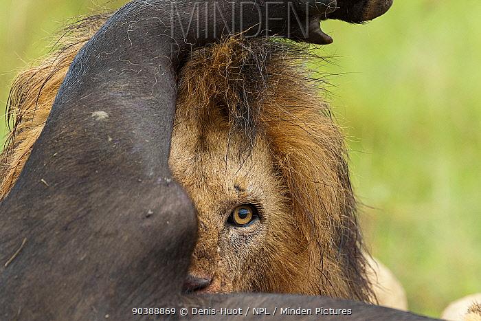 Lion (Panthera leo) male feeding on a buffalo (Syncerus caffer) Masai-Mara Game Reserve, Kenya Vulnerable species  -  Denis Huot/ npl