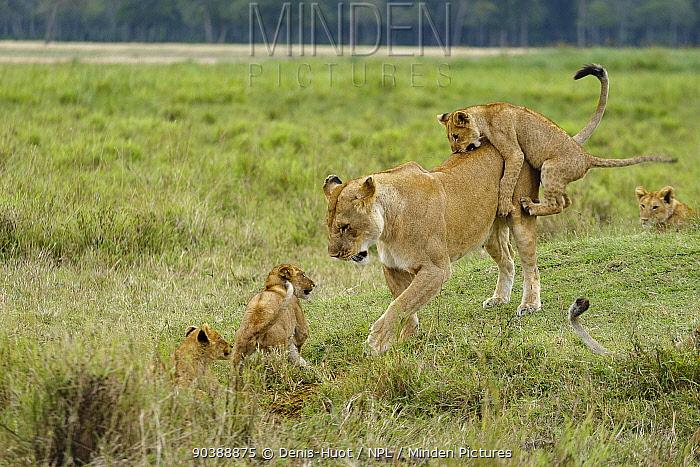 Lioness (Panthera leo) playing with her cubs, Masai-Mara Game Reserve, Kenya  -  Denis Huot/ npl