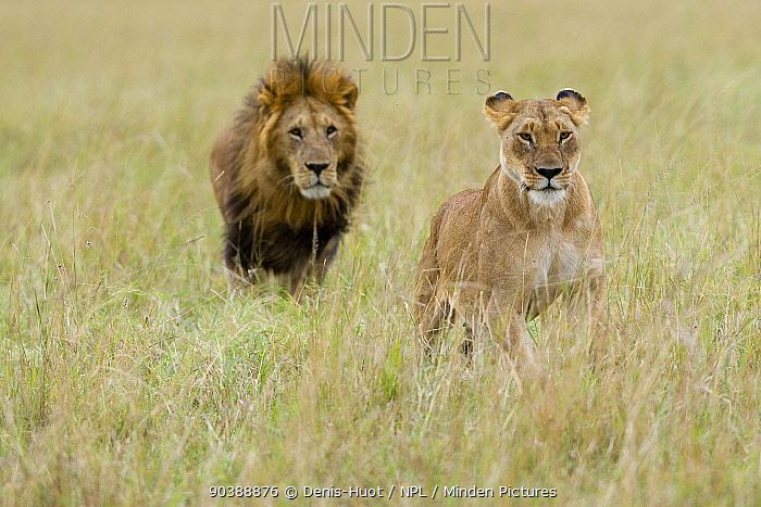 Lion (Panthera leo) male behind female, Masai-Mara Game Reserve, Kenya Vulnerable species  -  Denis Huot/ npl