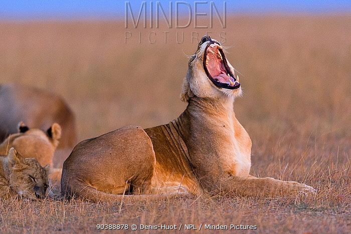 Lioness (Panthera leo) yawning, Masai-Mara Game Reserve, Kenya Vulnerable species  -  Denis Huot/ npl