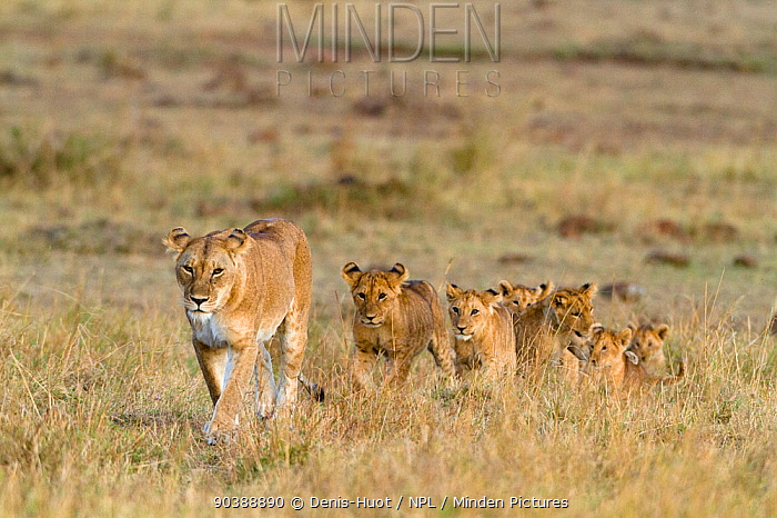 Lioness (Panthera leo) with her cubs following, Masai-Mara Game Reserve, Kenya  -  Denis Huot/ npl