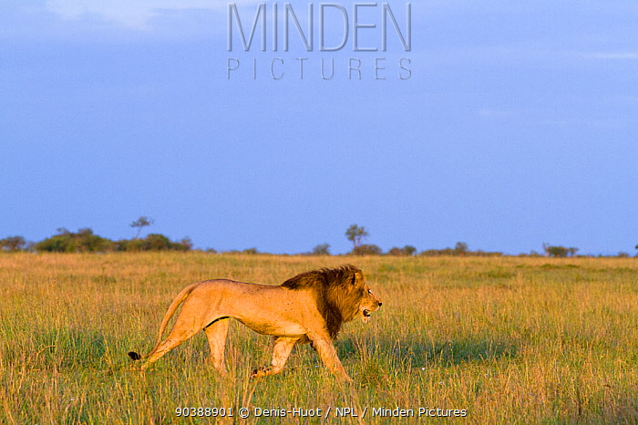Lion (Panthera leo) male patrolling his territory, Masai-Mara Game Reserve, Kenya Vulnerable species  -  Denis Huot/ npl