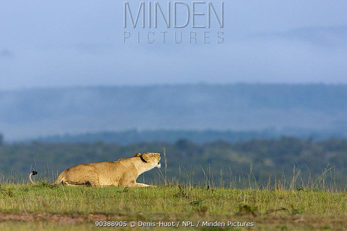 Lioness (Panthera leo) roaring, Masai-Mara Game Reserve, Kenya  -  Denis Huot/ npl